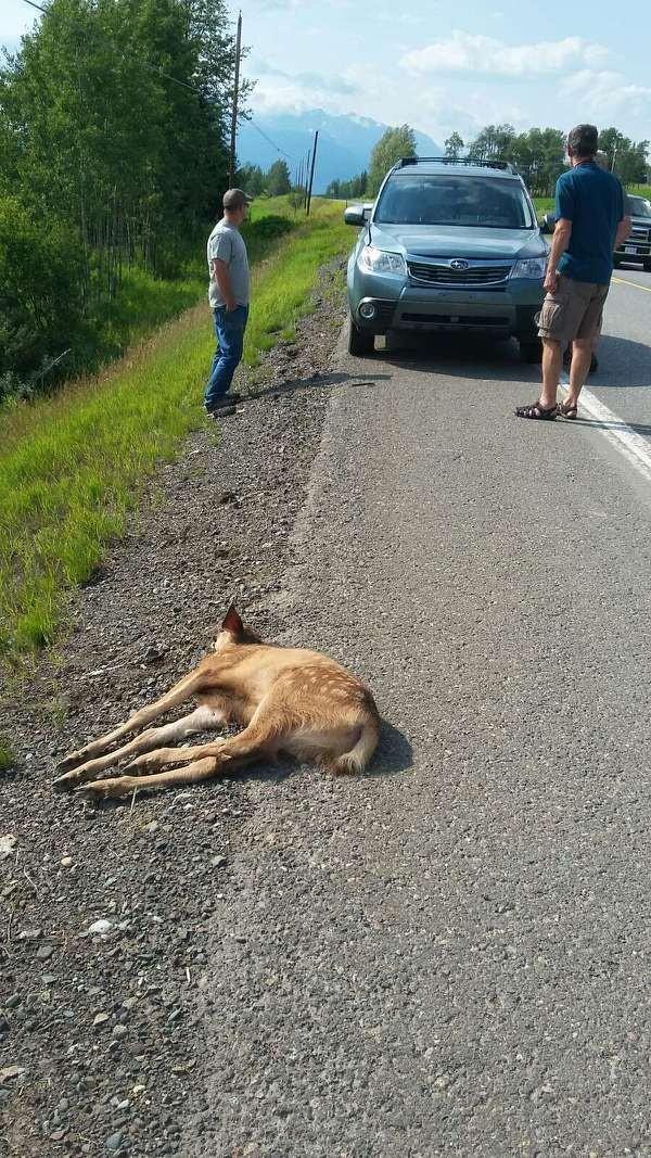 bebe-ciervo-rescatado-en-la-carretera1