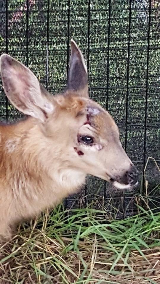 bebe-ciervo-rescatado-en-la-carretera3