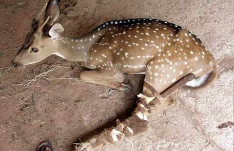 bebe-ciervo-rescatado-en-la-carretera4