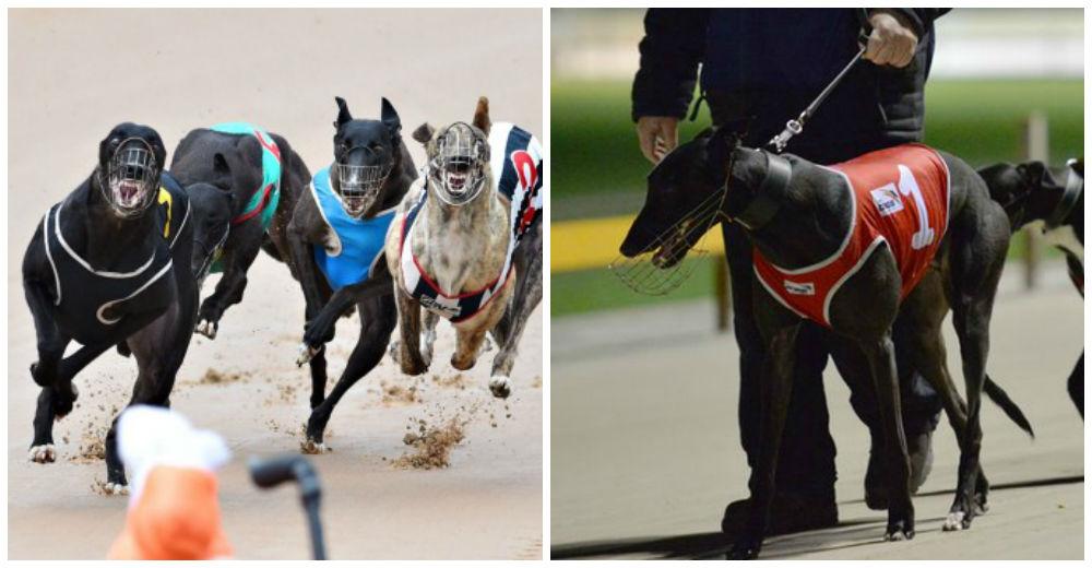 carreras-perro-galgo