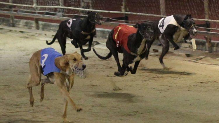 carreras-perros-galgo4