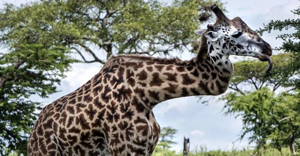 jirafa-sobrevive-cuello-roto