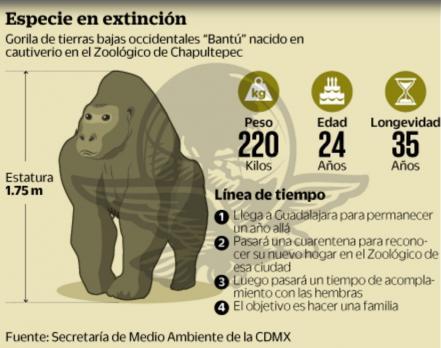 muere-ultimo-gorila-macho-mexico1