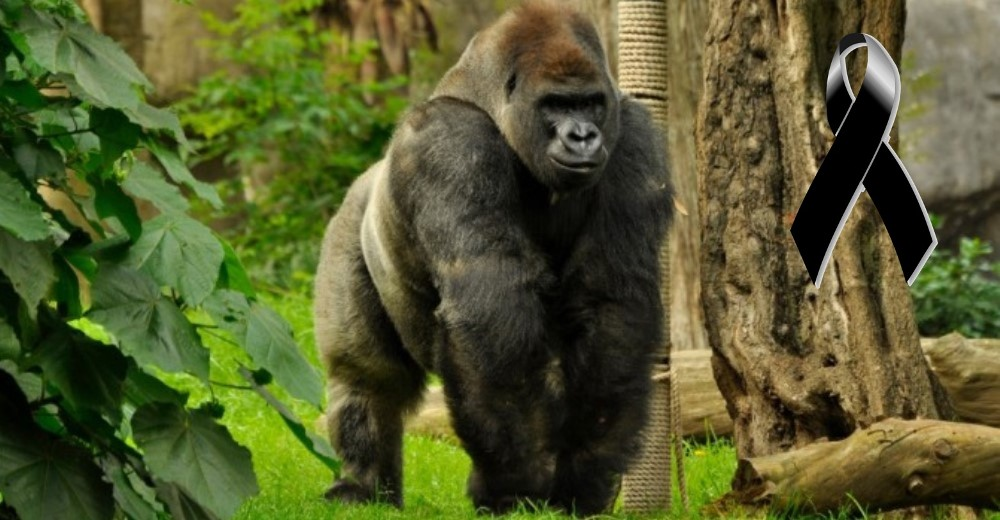 muere-ultimo-gorila-macho-mexico2 - Copy