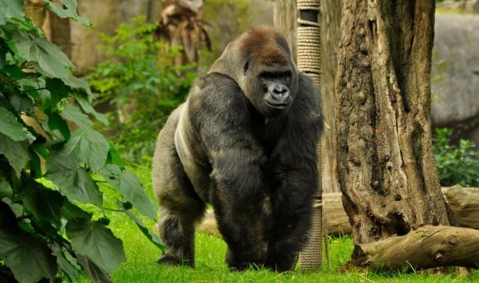 muere-ultimo-gorila-macho-mexico2