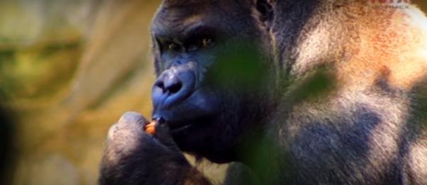 muere-ultimo-gorila-macho-mexico3