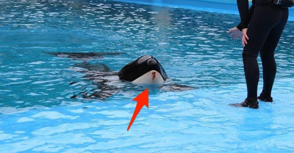 orcas-sufriendo-seaworld