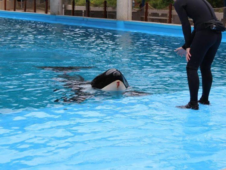 orcas-sufriendo-seaworld2