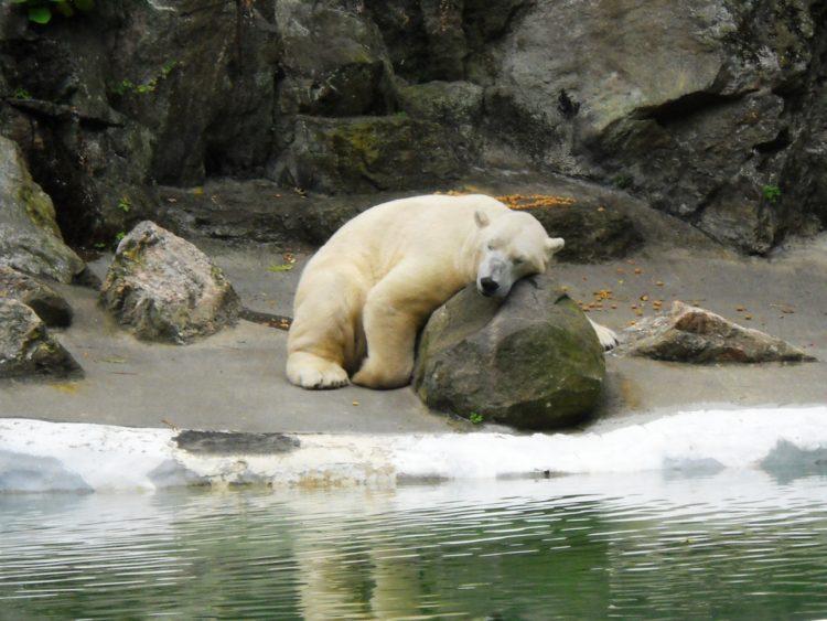 oso-polar-nueva-york4