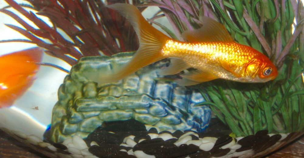 peces-dorados-pecera8