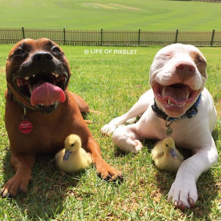 perritos-patos-amigos1