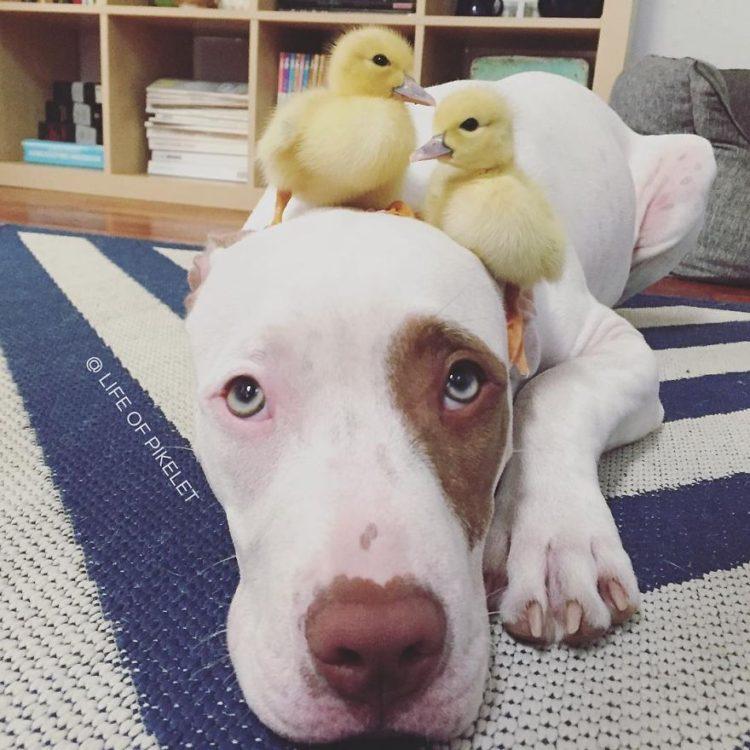 perritos-patos-amigos12