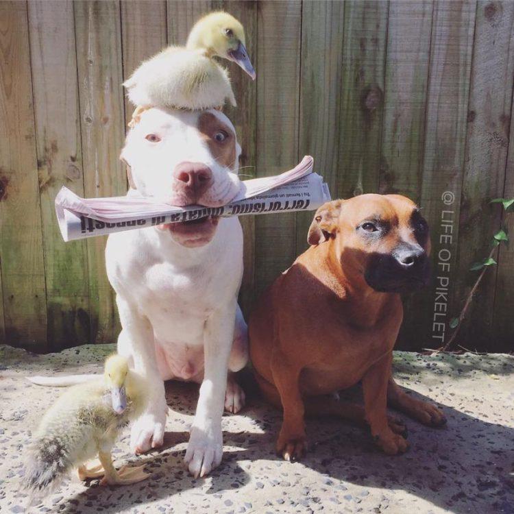 perritos-patos-amigos13