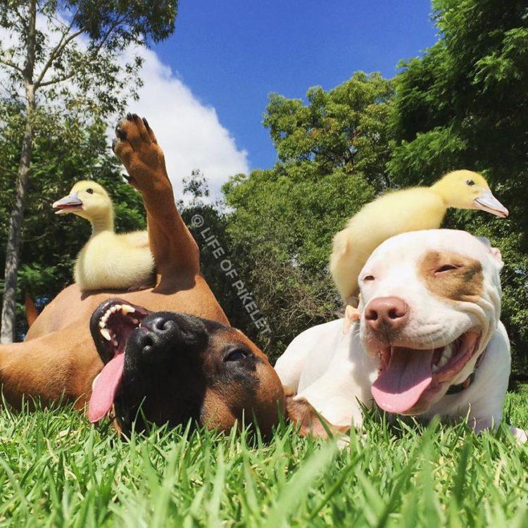 perritos-patos-amigos14
