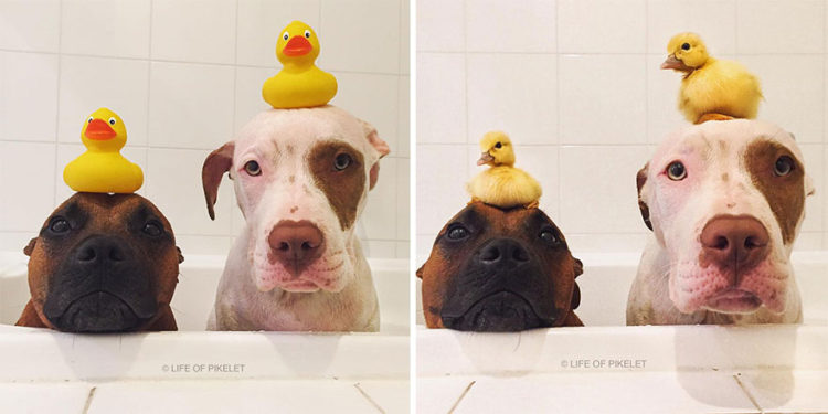 perritos-patos-amigos2
