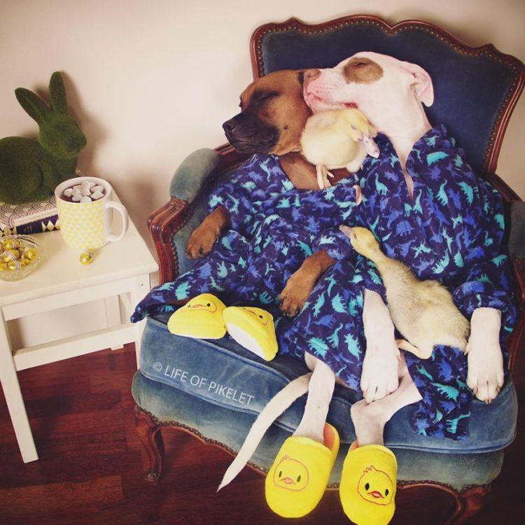perritos-patos-amigos7