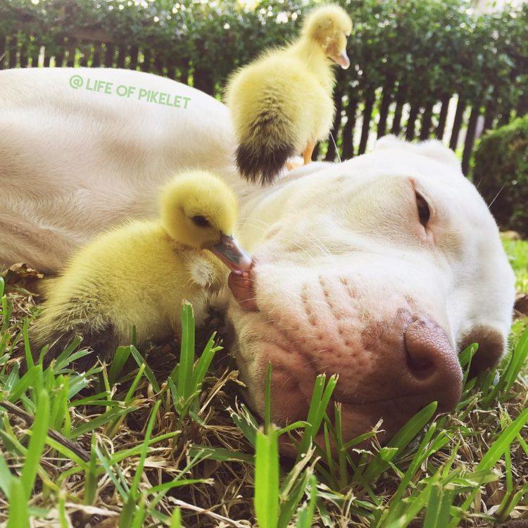 perritos-patos-amigos9