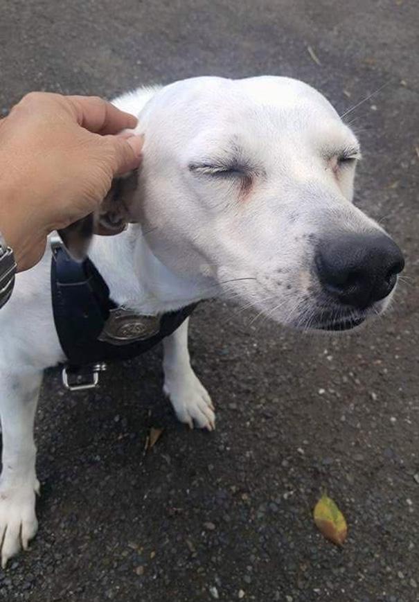 perro abandonado Gorgi es ahora policia Puerto Rico 1