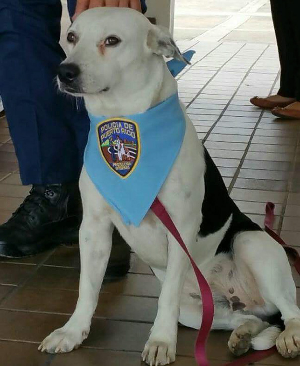perro abandonado Gorgi es ahora policia Puerto Rico 3