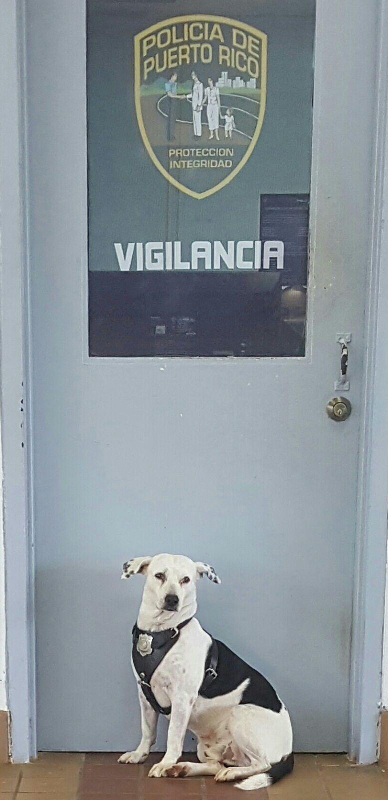 perro abandonado Gorgi es ahora policia Puerto Rico 7