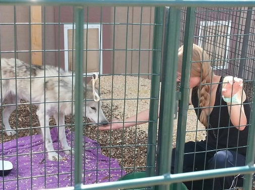 perro-lobo-en-la-calle11