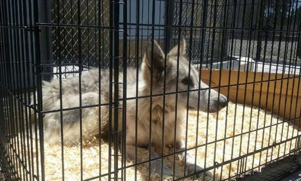 perro-lobo-en-la-calle3