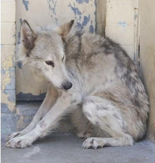 perro-lobo-en-la-calle8