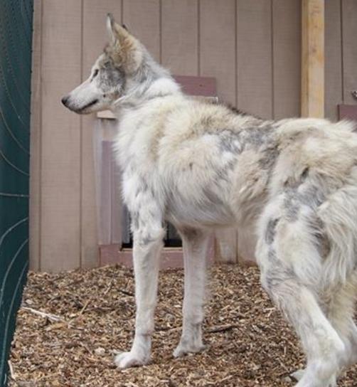 perro-lobo-en-la-calle9
