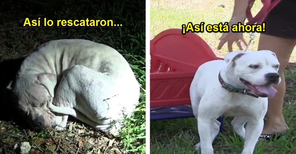 perro-rescatado-en-florida-pitbull