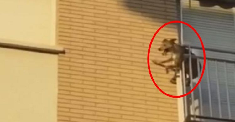 perro-se-tira-por-el-balcon2 - Copy