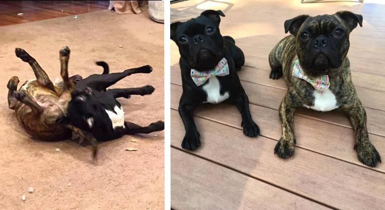 perros hermanos adoptados id