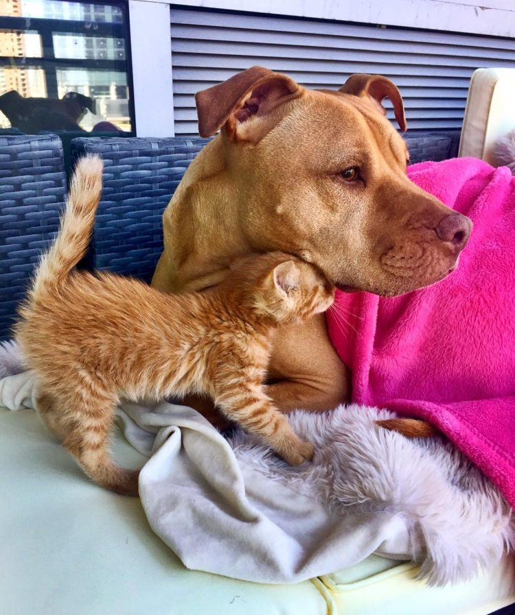 pitbull-ama-gatos1
