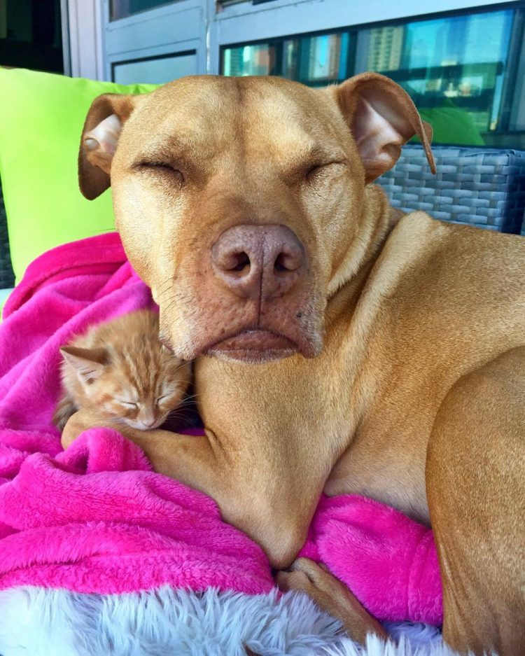 pitbull-ama-gatos2