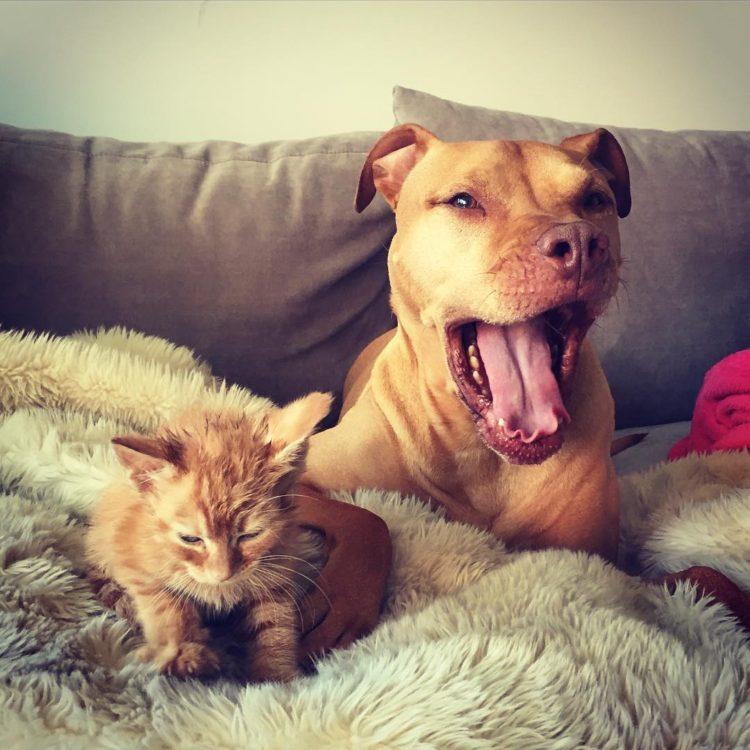 pitbull-ama-gatos5