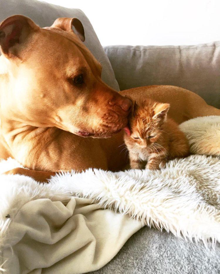 pitbull-ama-gatos8