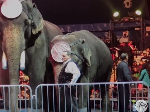 prohiben-herramienta-para-entrenar-elefantes1