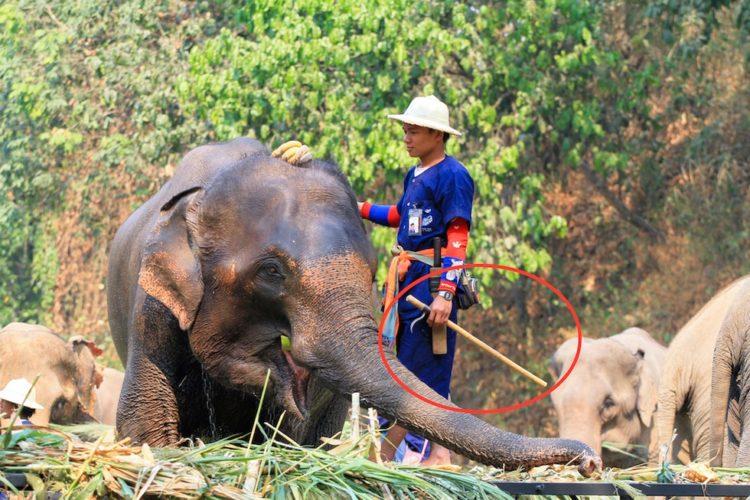 prohiben-herramienta-para-entrenar-elefantes11