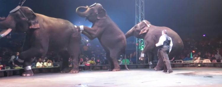 prohiben-herramienta-para-entrenar-elefantes4
