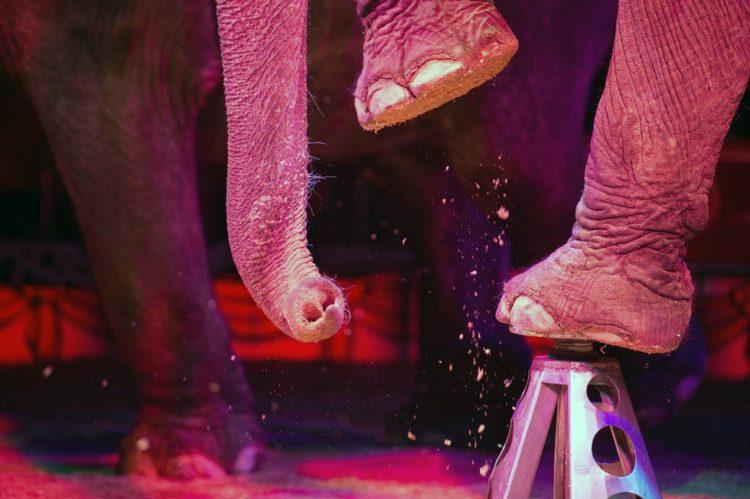 prohiben-herramienta-para-entrenar-elefantes7