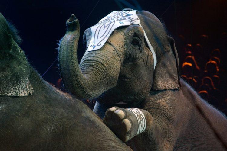 prohiben-herramienta-para-entrenar-elefantes9