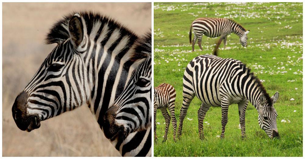 rayas-zebra-camuflaje
