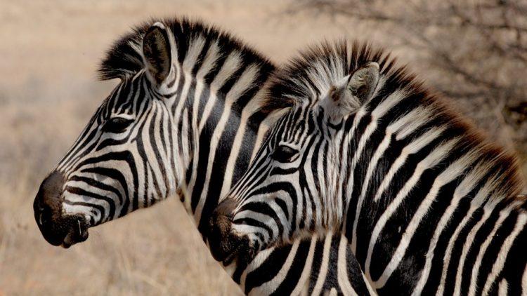 rayas-zebra-camuflaje1