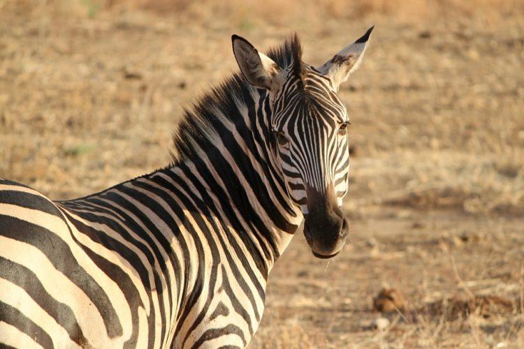 rayas-zebra-camuflaje2