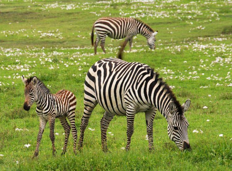 rayas-zebra-camuflaje3