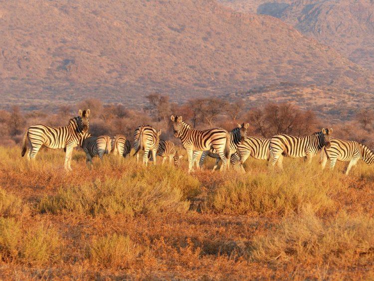 rayas-zebra-camuflaje4