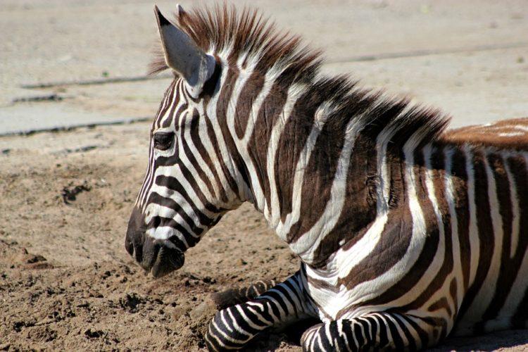 rayas-zebra-camuflaje5