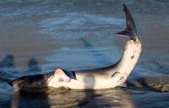 tiburon-playa2