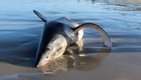 tiburon-playa3