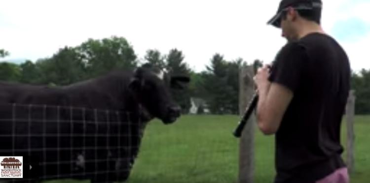 vacas-escuchar-musica4