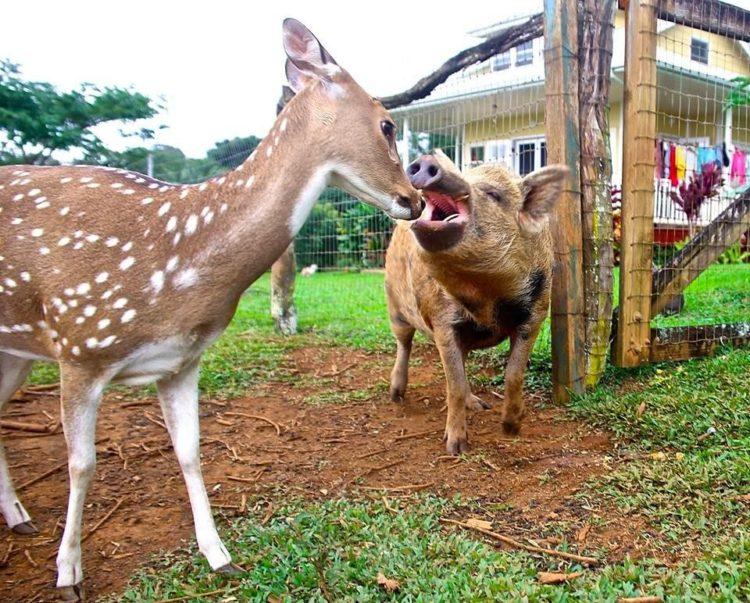 venado y jabalí amigos cazadores